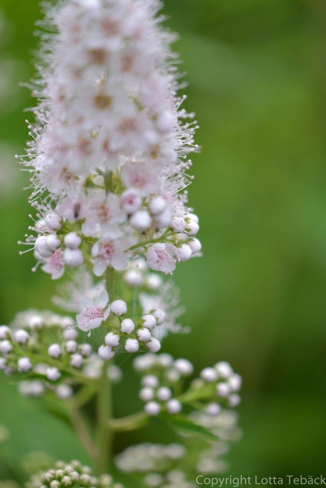 Blomma vit