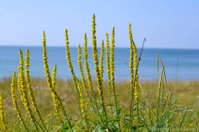 Blommor mot havet