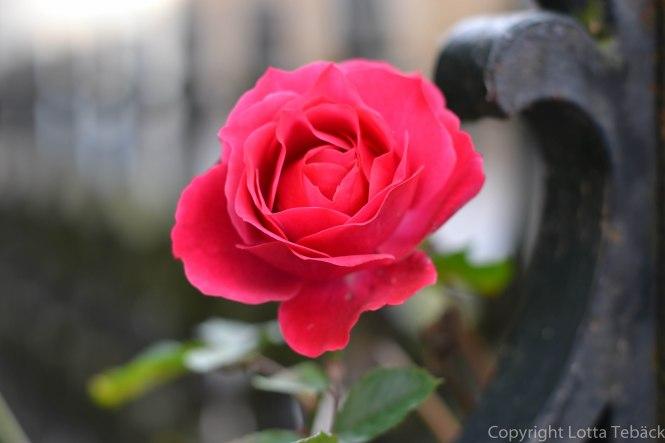 Rosa ros i slutet av oktober
