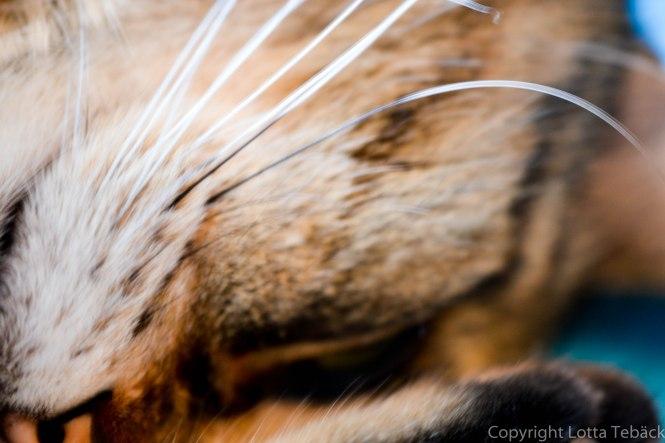 Katt morrhår