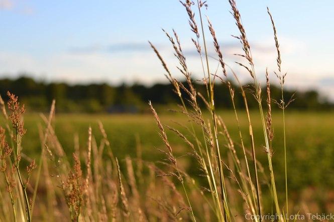 Glittrande gräs Öland