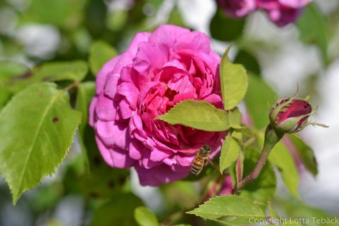 Rosa ros med bi