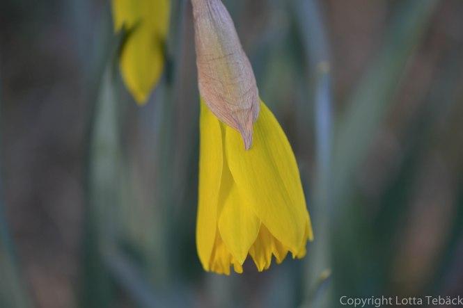 Påsklilja i trädgården