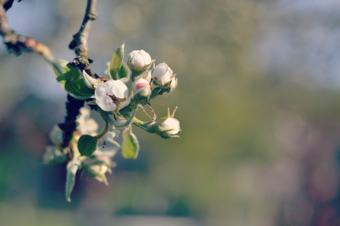 Päronblom